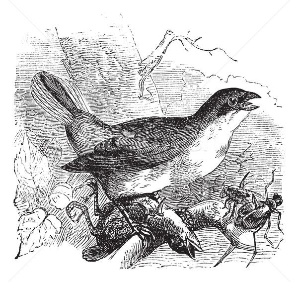 Red-backed Shrike or Lanius collurio, vintage engraving Stock photo © Morphart