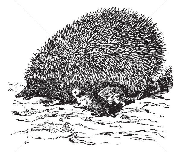 The European Hedgehog (Erinaceus europaeus) or  Common hedgehog  Stock photo © Morphart
