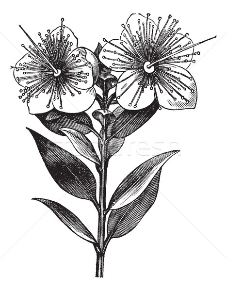 Myrtle or Myrtus communis, vintage engraved illustration Stock photo © Morphart