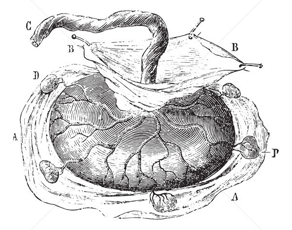 Placenta with five cotyledons isolated, vintage engraving. Stock photo © Morphart