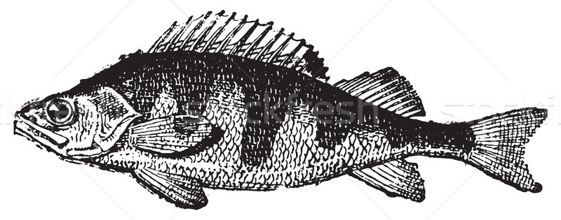Perch, vintage engraving. Stock photo © Morphart