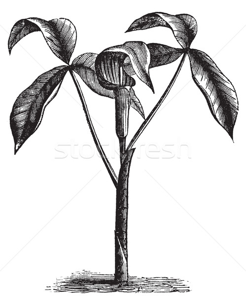Arisaema triphyllum or wild turnip old engraving. Stock photo © Morphart