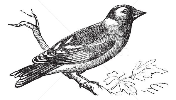 Finch vintage engraving Stock photo © Morphart