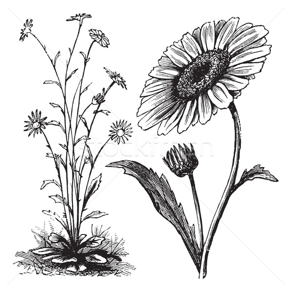 Chrysanthemum sp. vintage engraving Stock photo © Morphart