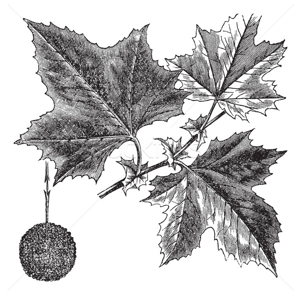 American Sycamore or Platanus occidentalis, vintage engraving Stock photo © Morphart
