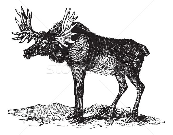 Elk or Wapti, vintage engraving. Stock photo © Morphart