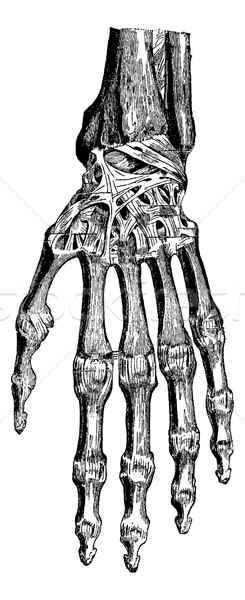 Radiocarpal joint, carpal bones them, carpometacarpal and hand ( Stock photo © Morphart
