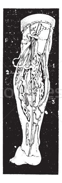 静脈 脚 ヴィンテージ 彫刻 刻ま 実例 ストックフォト © Morphart