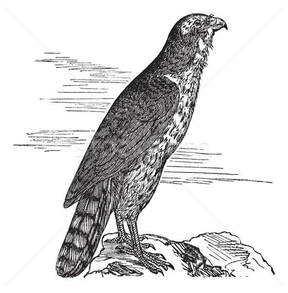 Northern Goshawk or Accipiter gentilis. Vintage engraving. Stock photo © Morphart