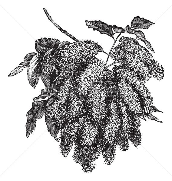 Fraxinus ornus or Flowering Ash vintage engraving Stock photo © Morphart