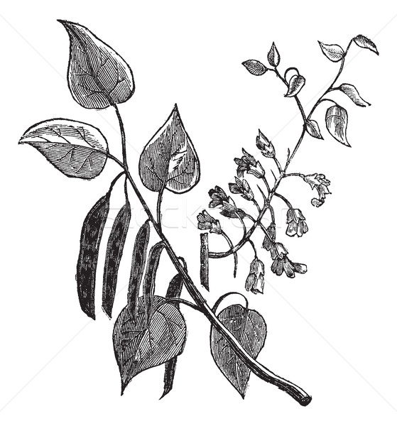 Cercis canadensis or Eastern Redbud vintage engraving Stock photo © Morphart