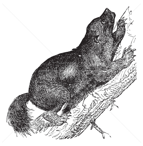Vintage stinkdier beer oude gegraveerd Stockfoto © Morphart