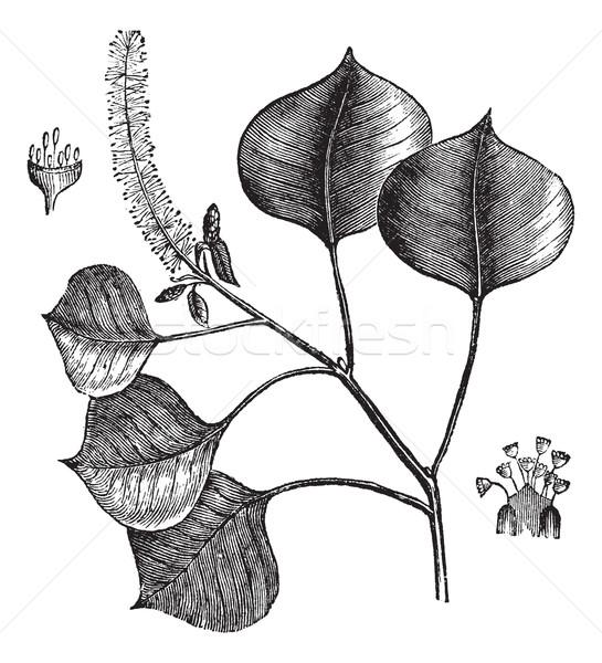 Chinese tallow tree or Sapium sebifera vintage engraving Stock photo © Morphart