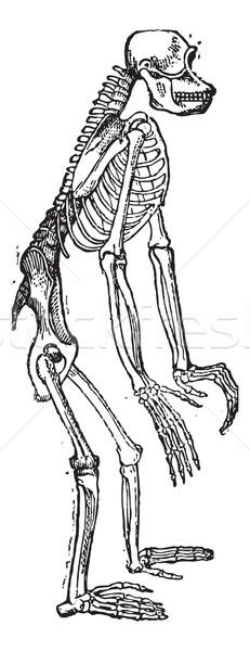 Skelet chimpansee chimpansee vintage oude Stockfoto © Morphart