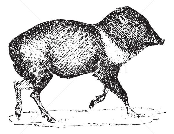 Vintage stinkdier varken gegraveerd illustratie Stockfoto © Morphart