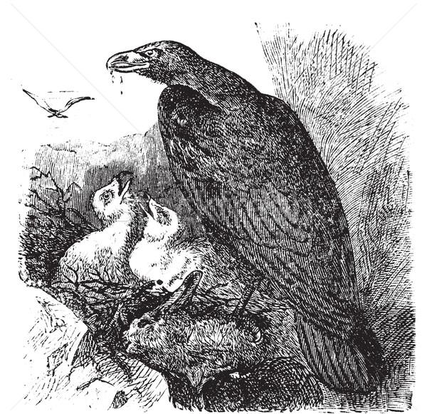 Golden eagle or Aquila chrysaetos vintage engraving, vector. Stock photo © Morphart
