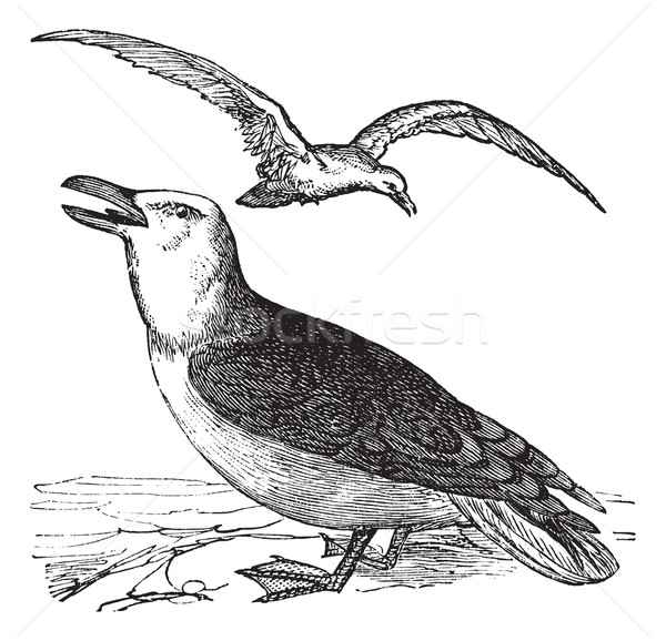 Great Black-backed Gull or Larus marinus vintage engraving Stock photo © Morphart