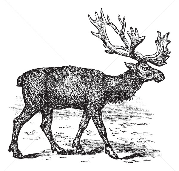 Reindeer or Rangifer tarandus vintage engraving Stock photo © Morphart