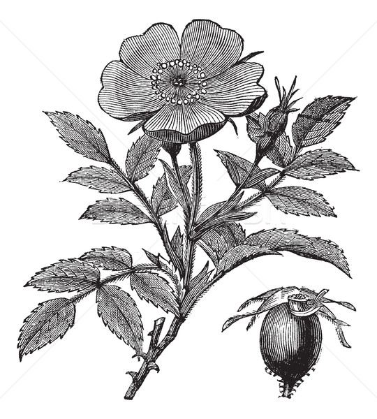 Sweet briar or Rosa rubiginosa vintage engraving Stock photo © Morphart