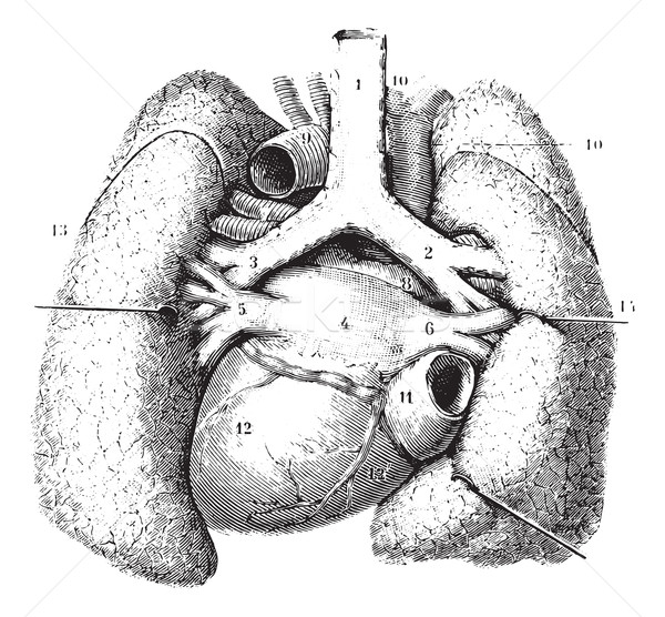 Main reports of the lungs. (Thoracic organs seen by their poster Stock photo © Morphart