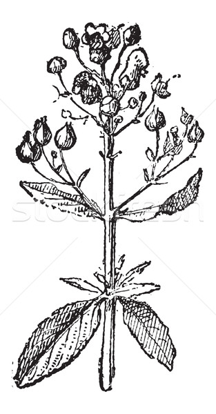 Figwort or Scrophularia, vintage engraving. Stock photo © Morphart