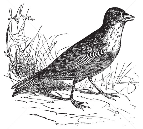 Vintage velho gravado ilustração pássaro Foto stock © Morphart
