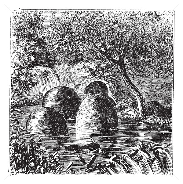Stock photo: Lodges and dams built by beavers vintage engraving