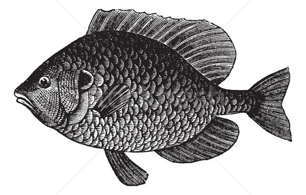 Pumpkinseed Sunfish or Lepomis gibbosus, vintage engraving Stock photo © Morphart