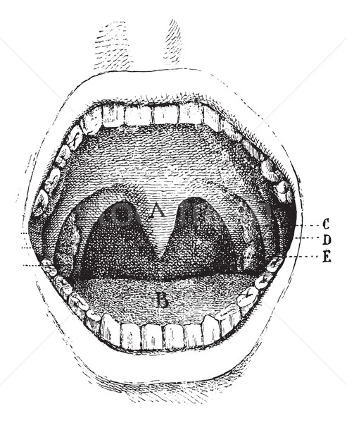 Mouth (inside of the cavity, vintage engraving. Stock photo © Morphart