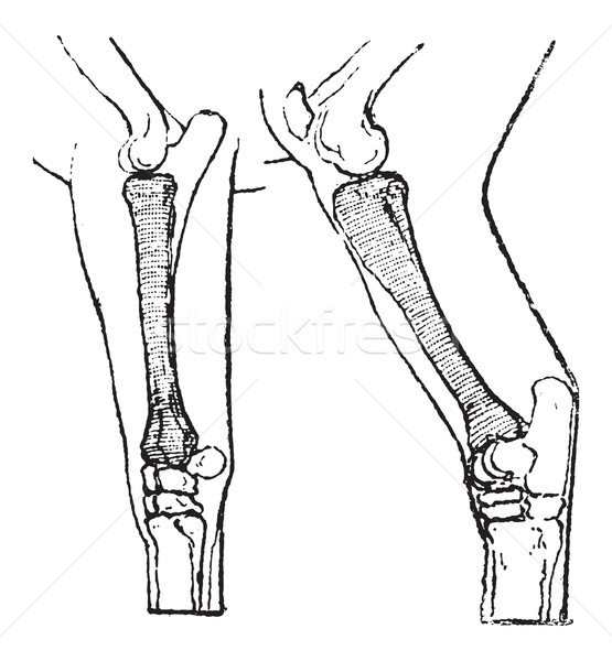 Radius and Tibia of a Horse, vintage engraving Stock photo © Morphart