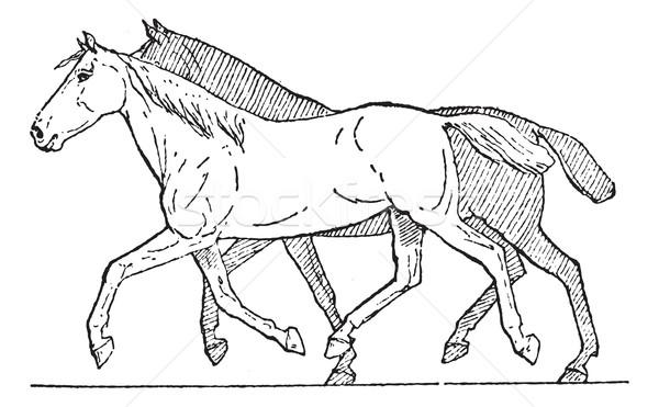Trot or Horse Gait, vintage engraving Stock photo © Morphart