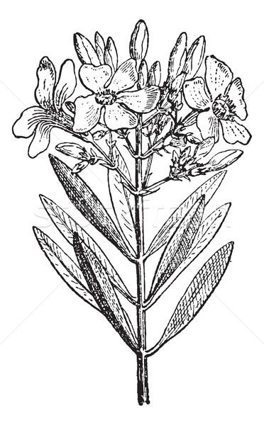 Oleander or Nerium oleander, vintage engraving Stock photo © Morphart