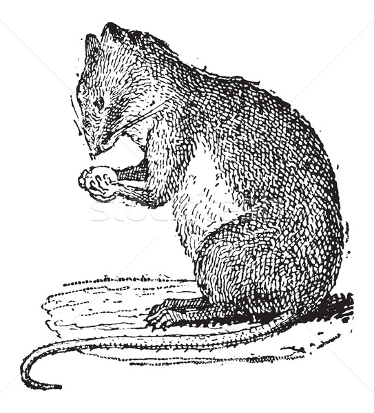 Field Mouse or Muridae, vintage engraving Stock photo © Morphart