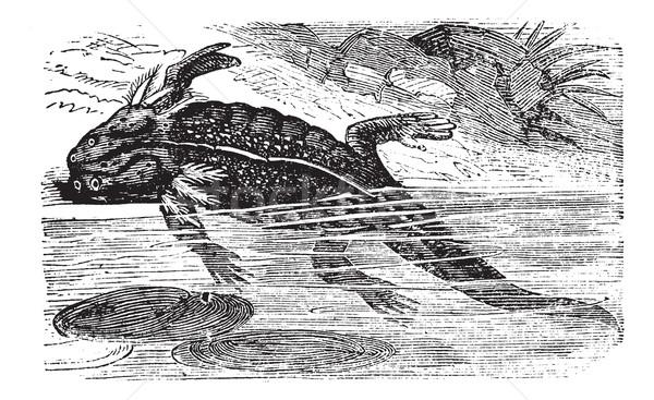 Axolotl or Mole Salamander or Ambystoma mexicanum vintage engrav Stock photo © Morphart