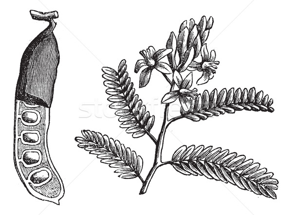 Tamarind (Tamarindus indica), vintage engraving. Stock photo © Morphart