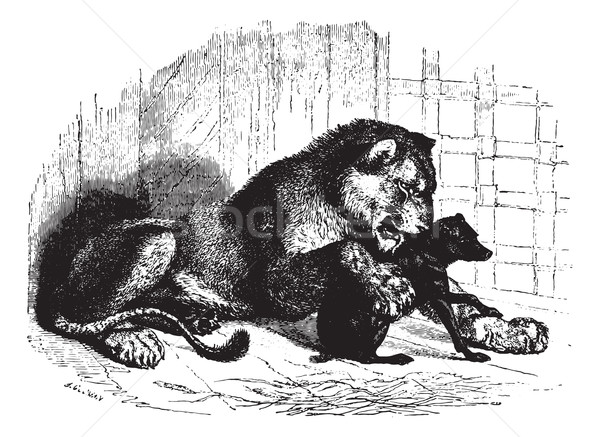 Lioness with cub, vintage engraving. Stock photo © Morphart