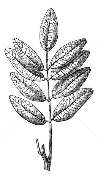 Jaborandi or Pilocarpus sp., vintage engraving Stock photo © Morphart
