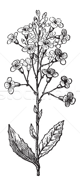 Dame's Rocket or Hesperis matronalis, vintage engraving Stock photo © Morphart