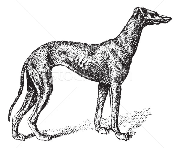 Greyhound, vintage engraving Stock photo © Morphart