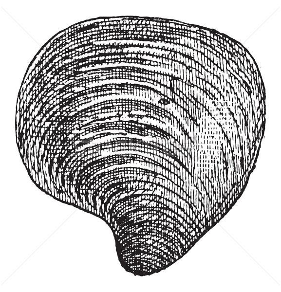 Freshwater Mussel, vintage engraving Stock photo © Morphart
