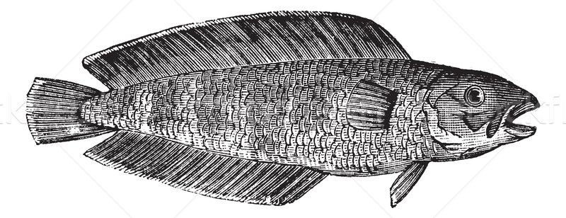Mariene vis vintage gegraveerd illustratie Stockfoto © Morphart