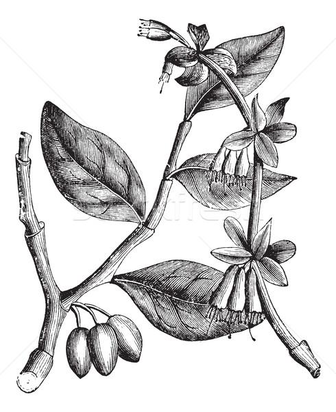 Eastern Leatherwood or Dirca palustris, vintage engraving Stock photo © Morphart