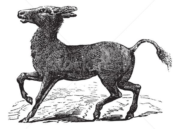 Mongolian Wild Ass or Khulan or Equus hemionus, vintage engravin Stock photo © Morphart