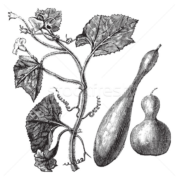 Calabash or Lagenaria vulgaris vintage engraving  Stock photo © Morphart