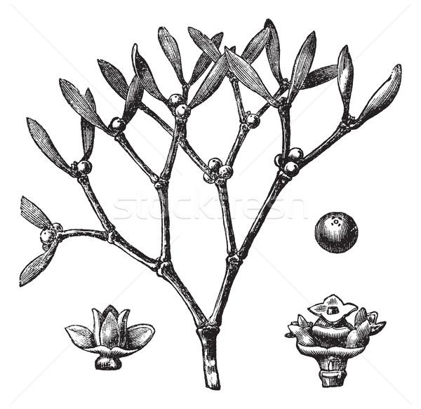 White mistletoe (Viscum album)  or European mistletoe vintage en Stock photo © Morphart