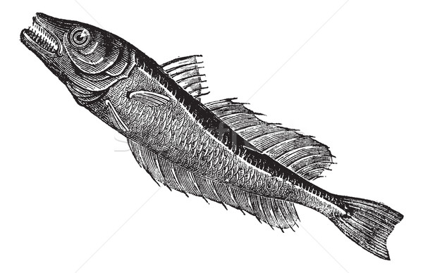 Common European hake (Merluccius vulgaris), vintage engraving Stock photo © Morphart