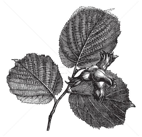 Hazel or Corylus sp., vintage engraved illustration Stock photo © Morphart