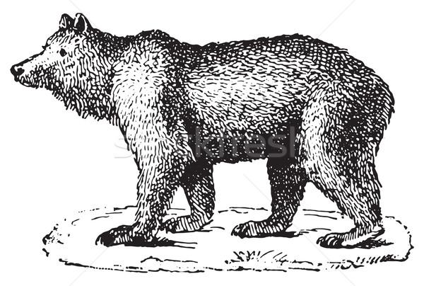 Bear, vintage engraving. Stock photo © Morphart