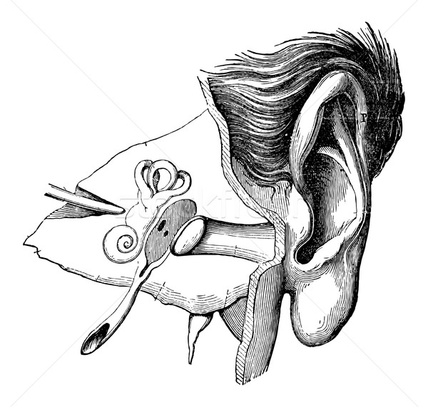 Stock photo: Parts of the Human Ear, vintage engraving