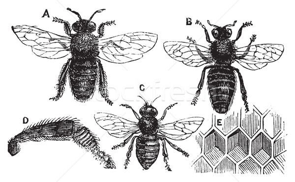 Male, female and neutral bee with leg close-up and honeycomb Stock photo © Morphart